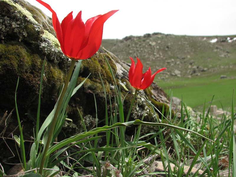 Tulipa armena, (near Erzurum, Palandoken mountains)