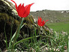Tulipa armena, (near Erzurum, Palandoken mountains)