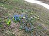 Trollius ranunculines, Scilla sibirica ssp. armena,  Primula vulgaris, Zigana pass