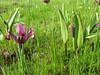 Iris reticulata and Fritillaria armena, SW Erzurum