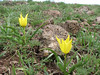Tulipa julia, (yellow form), ( Erzurum, Palandoken mountains)
