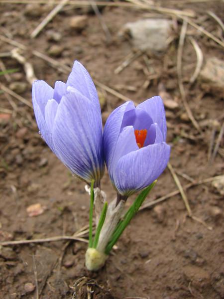 Crocus biflorus SW of Erzurum