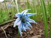 Scilla sibirica ssp. armena
