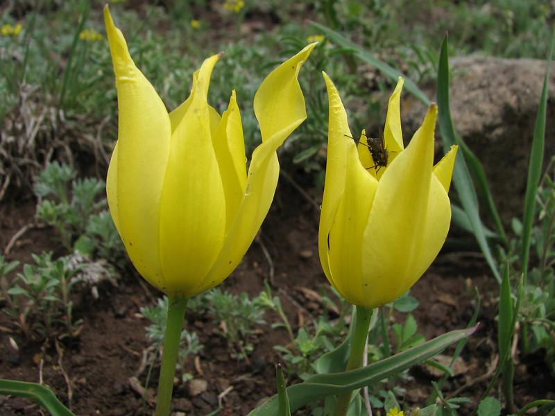 Tulipa julia, (yellow form), (Palendoken mountains)