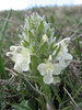 Pedicularis caucasica