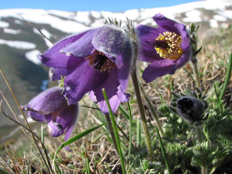 Pulsatilla albana ssp. armena, Soganli Gecidi  2230m