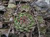 Sempervivum davisii ssp. furseorum