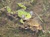 Rana cf. ridibunda, Mash frog, (NL: Meerkikker)