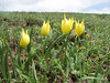 Tulipa julia, (yellow form), (Palendoken mountains)