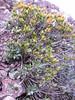 Daphne olioides ssp. pontica, Cirisli Gecidi 2135m.