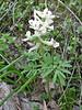 Corydalis angustifolius (near Savsat)