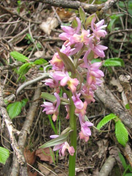 Dactylorhiza romana, near Artvin