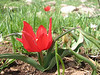 Tulipa armena, (near Cat South of Erzurum)
