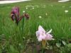 Merendera trigyna and Iris reticulata