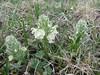 Pedicularis caucasica,  Zigana pass 2010m
