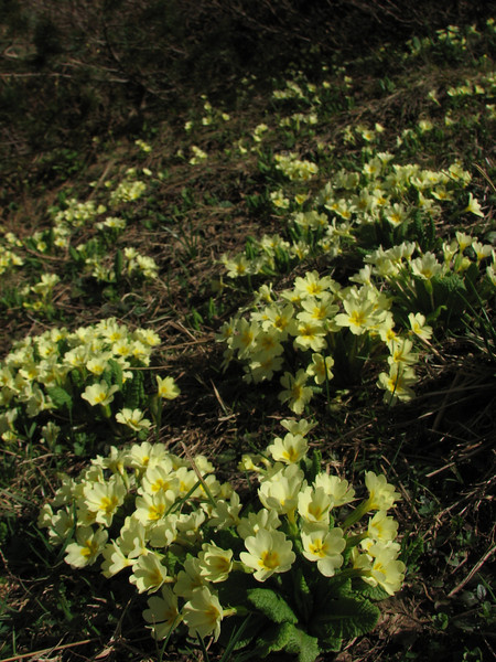 Primula vulgaris ssp vulgaris,  Zigana pass 2010m