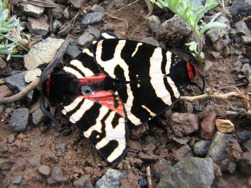 Arctia spec. Bear butterfly