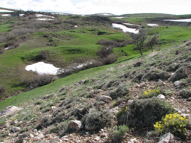 Draba bruniifolia habitat W Palandoken
