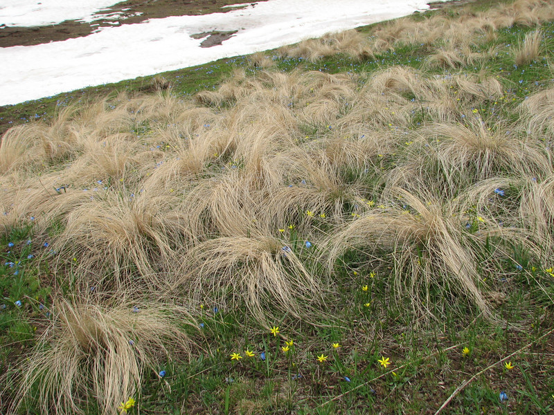 snowfields and grasses (near Erzurum, Palandoken on wet places)