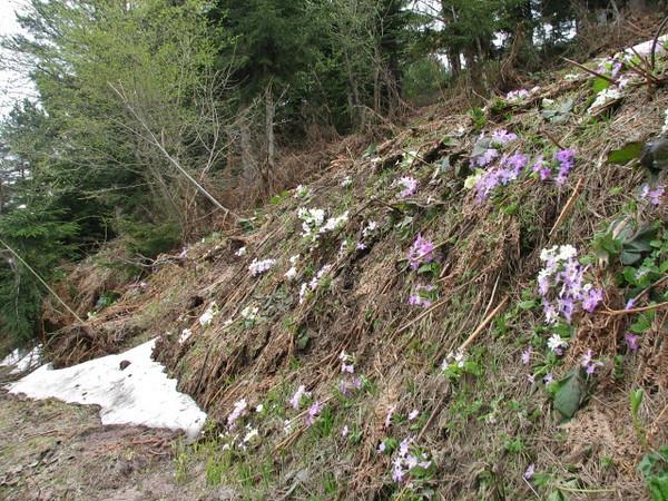 Primula vulgaris ssp sibthorpii