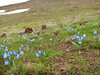 Scilla sibirica ssp. armena and Iris reticulata (near Erzurum, Palandoken on wet places)