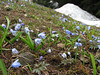 Scilla sibirica ssp armena and Anemone blanda