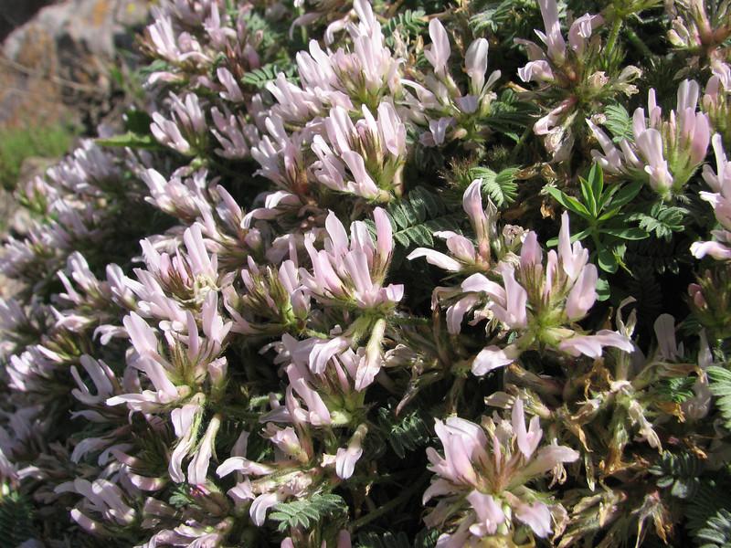 Astragalus cf alyssoides