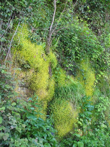 Saxifraga cymbalaria (along the Black Sea Coast, near Rize)