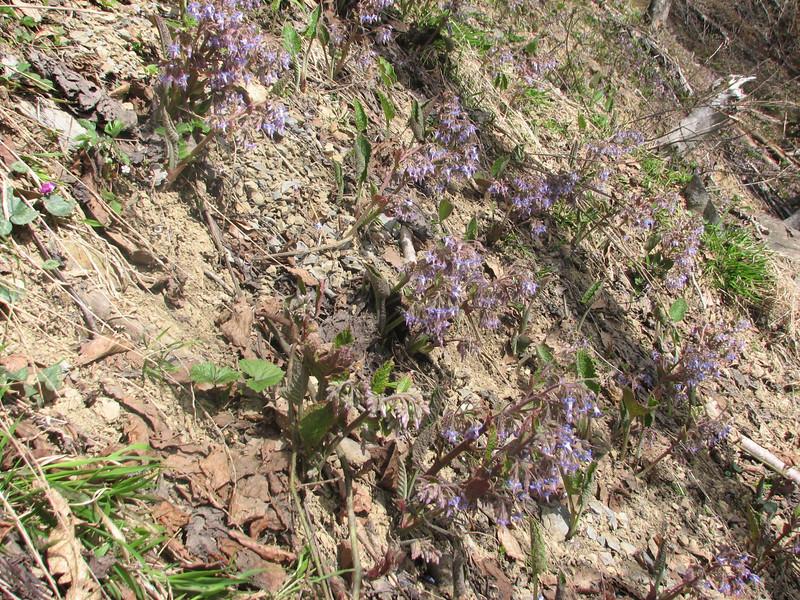 habitat of Trachystemon orientalis (humid forest near Murgul)