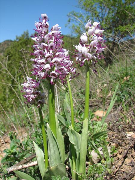 Orchis simia, near Zigana pass - Trabzon
