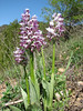 Orchis simia, near Zigana pass - Trabzon