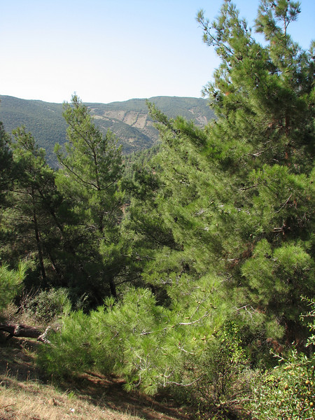 habitat of Pinus brutia,  near Islahiye, S. Turkey