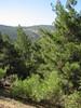 habitat of Pinus brutia,  near Islahiye, S. Turkey