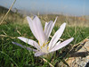 Colchicum polyphyllum (South of Sakcagoze, Kartal Dagi, S Turkey)