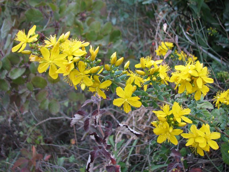 Hypericum spectabile (Adana - Serinyol, Hatay Province, S Turkey)