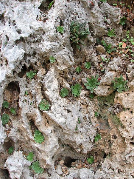 Rosularia sempervivum (Serinyol - Hassa, Hatay Province, S Turkey)