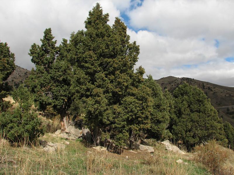 Juniperus excelsa, near the Gezbeli Gecidi 1990m.(pass)