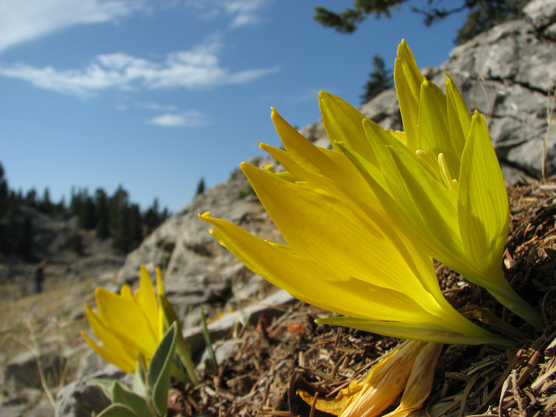 Sternbergia clusiana, North of Gazi Antep