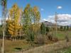 Populus spec. near Saimbeyli