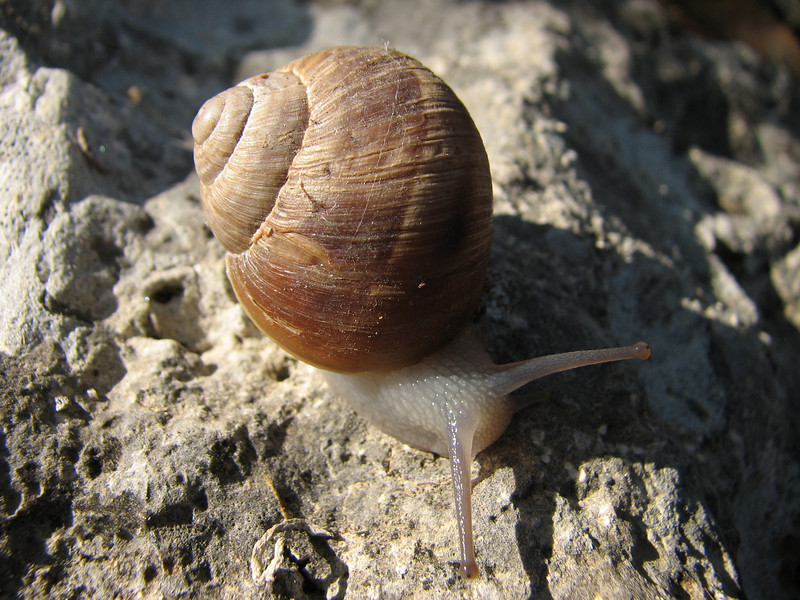 Escargot (snail)(Dumlu kalesi, between Ceyhan and Sagkaya)