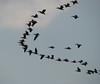 migratory birds: Pelecanus onocrotalus (NL: roze pelikaan) (Serinyol - Hassa, Yeditepe, near the see, Hatay Province, S Turkey)(photo K.J.)