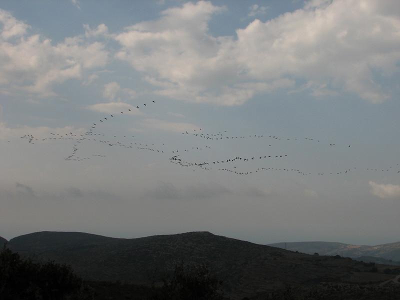 migratory birds: Pelecanus onocrotalus (NL: roze pelikaan) (Serinyol - Hassa, Yeditepe, near the see, Hatay Province, S Turkey)