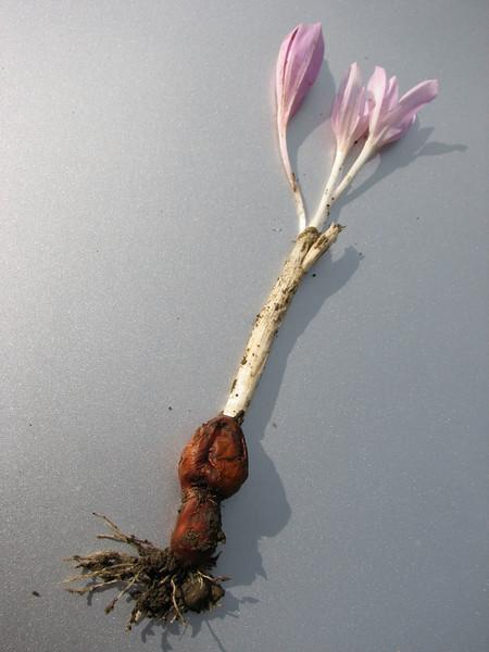 bulb of Colchicum polyphyllum (only for determination purpose)  (Duzici - Kozan) S. Turkey