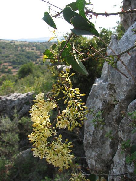 Tamus communis (Serinyol - Hassa, Hatay Province, S Turkey)