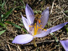 Crocus cancellatus ssp. cancellatus (N of Kozan, near Feke, S Turkey)