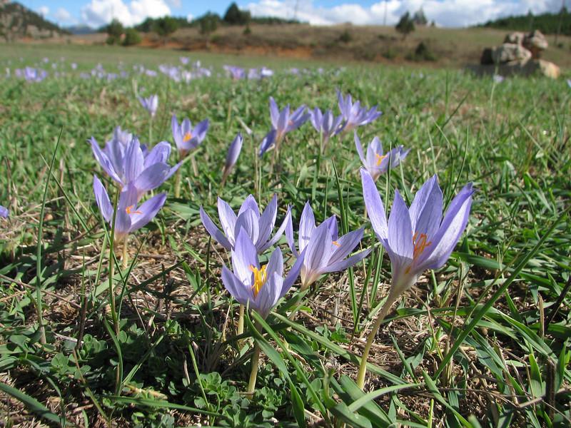 habitat of Crocus cancellatus ssp. cancellatus (N of Kozan, near Feke, S Turkey)