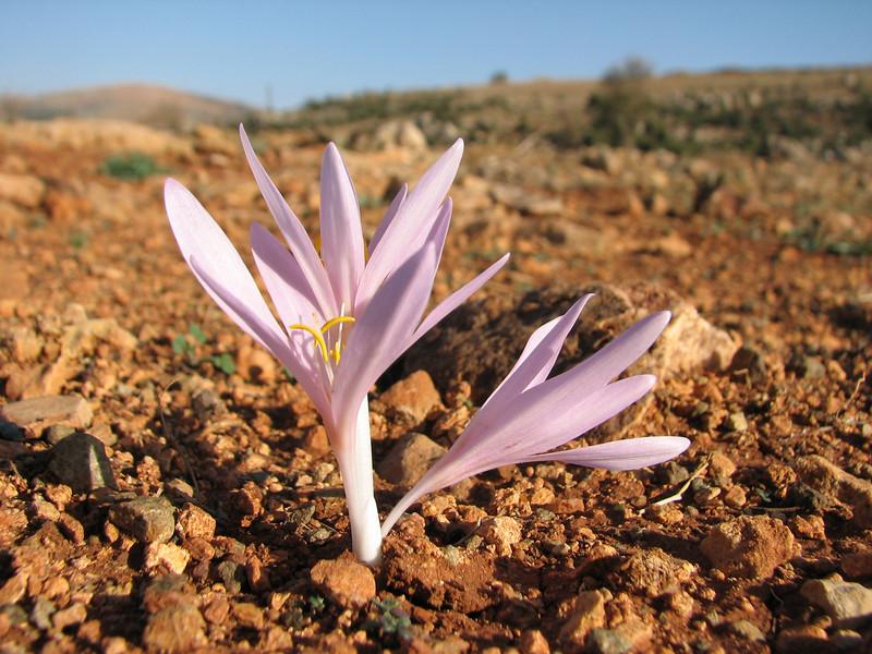 Colchicum polyphyllum (West of Gaziantep - Kahramanmara, S Turkey)