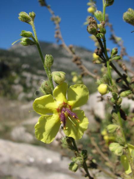 Verbascum trichostylum (Kozan - Kozan)