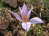 Crocus pallasii ssp. turcicus, North of Kilis, S. Turkey