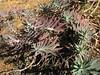 Euphorbia rigida  (Kozan - Feke, S. Turkey)